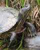 "<a href=""http://www.flickr.com/photos/vickisnature/3443222610/"">Photo of Trachemys scripta by Vicki DeLoach</a>"