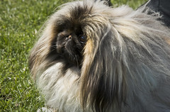 dog breed, animal, dog, tibetan spaniel, pekingese, carnivoran,
