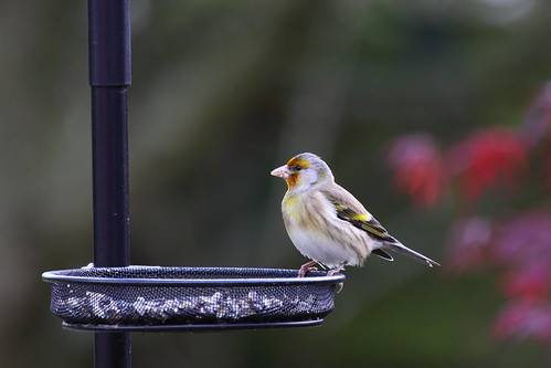 Baby Birdorable: European Goldfinch in Baby Birds, Finches ...