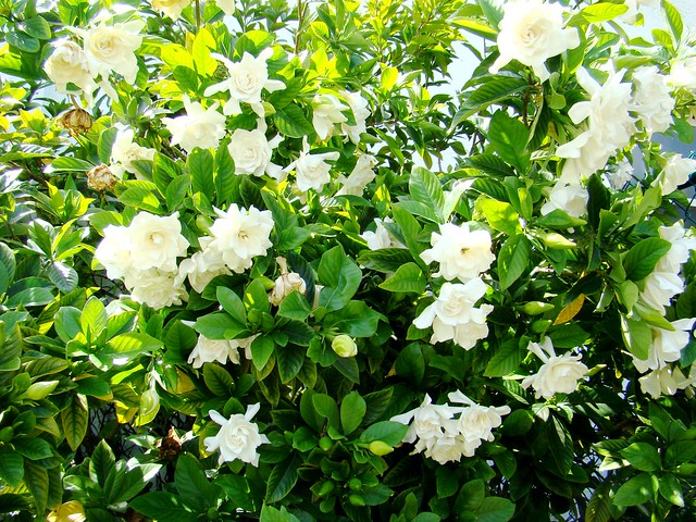 Gardenia Bush http://www.flickr.com/photos/rhonda-pics/3515883257/