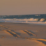 Sandpipers and plovers in tracks, Fire Island National Seashore