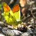 Provence Orange Tip - Photo (c) Ombrosoparacloucycle, some rights reserved (CC BY-NC-SA)