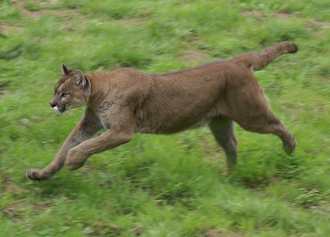 cougar running | Flickr - Photo Sharing!