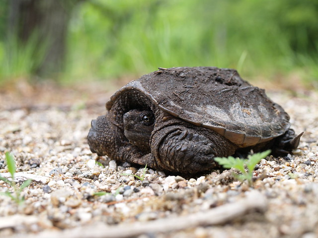 Snapping Turtle Food Baby