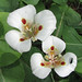 Butterfly Mariposa Lily - Photo (c) randomtruth, some rights reserved (CC BY-NC-SA)