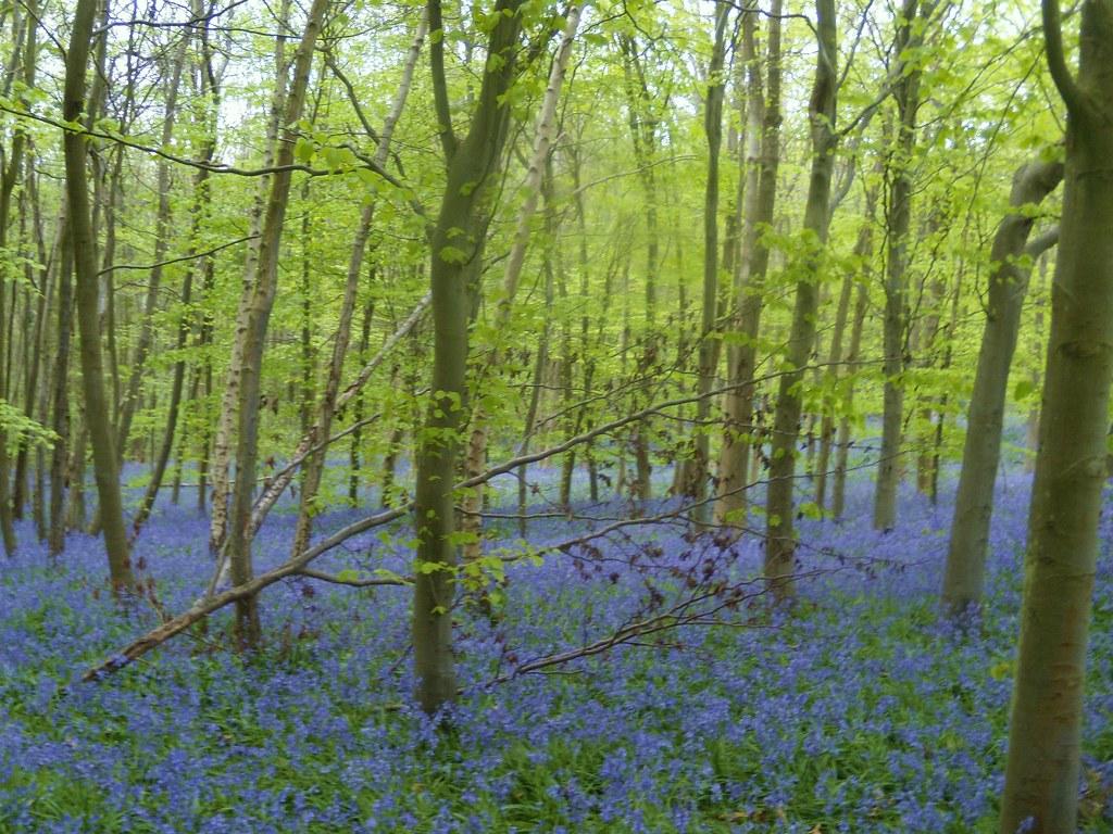 Bluebells Hurst Green to Westerham