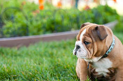 Bulldog puppy, Peaches