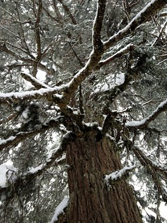 Ancient Western Hemlock
