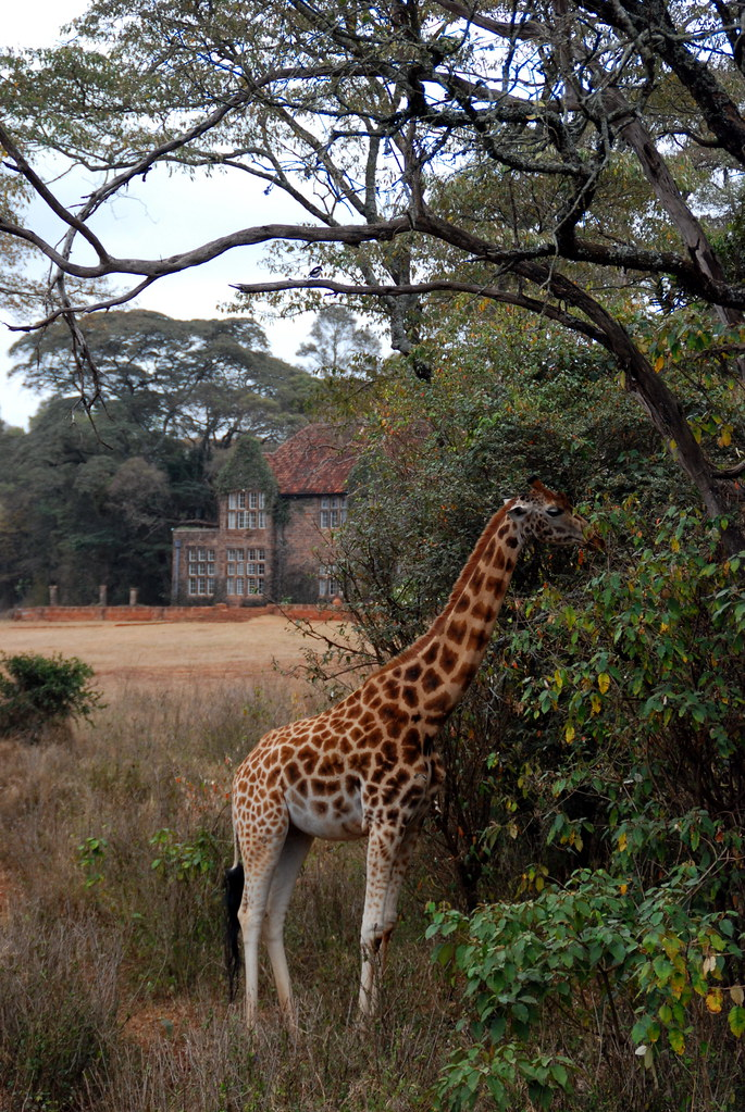 Rothschild's giraffe in front of Giraffe Manor