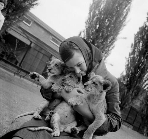 Meisje met jonge leeuwen in Artis