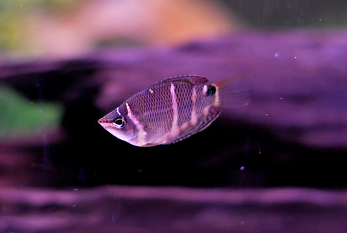 My Chocolate Gourami