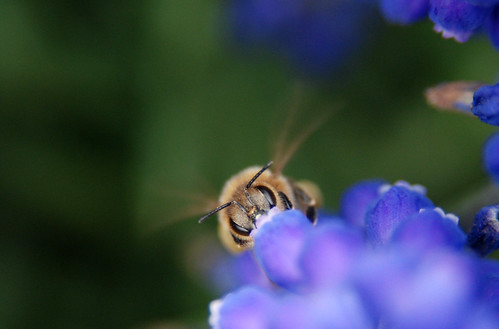 Busy bee loves lavender