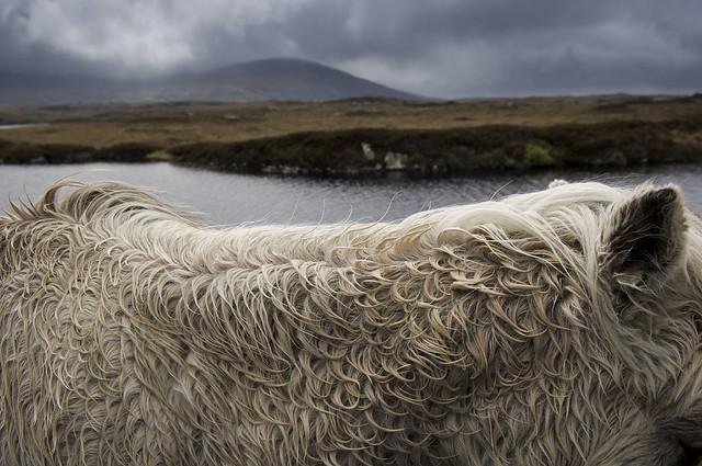 Highland Pony, Outer Hebrides, Scotland