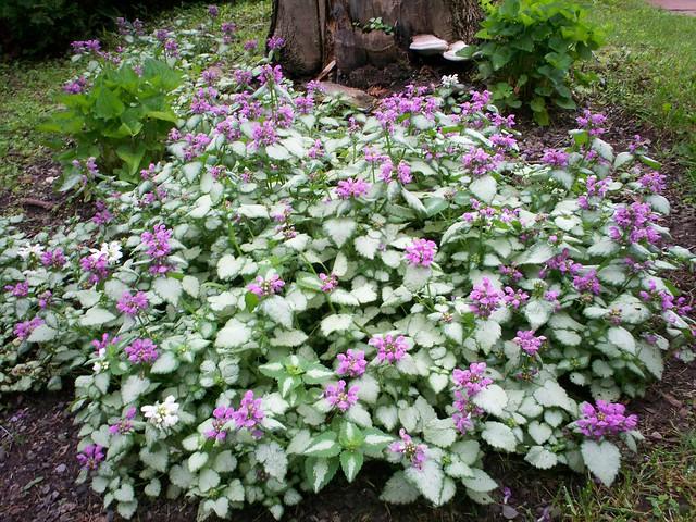 perennial gardensflowers  gallery  flickr