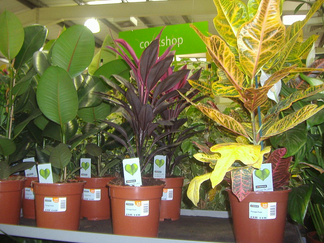 croton and rubber plants homebase flickr photo sharing. Black Bedroom Furniture Sets. Home Design Ideas