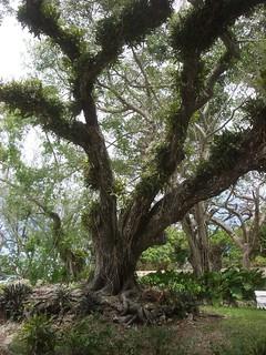 Tree, St Nicholas Abbey