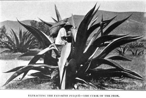 Extrayendo el consentido pulque – La maldición del peón. México 1904
