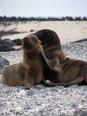 Sea Lion Pups