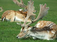 animal, antler, deer, fauna, white-tailed deer, deer hunting, wildlife,