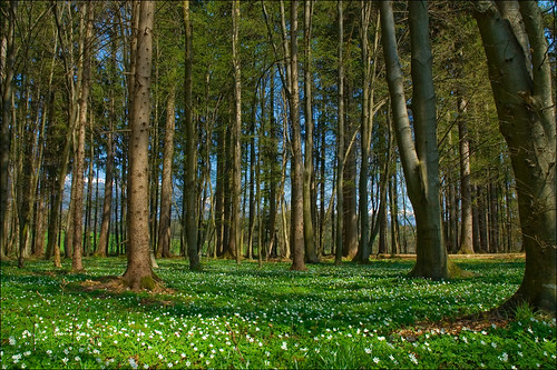 wood flowers geotagged spring anemone martina anemonenemorosa windflower thimbleweed anawesomeshot ourplanet flickrdiamond smellfox podlesnavetrnica geo:lat=4629979 geo:lon=14342415