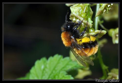Andrena fulva (Andrène rousse)