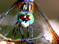 Dragonflies and Damsels