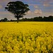 Lone Tree @ Rapeseed Sea