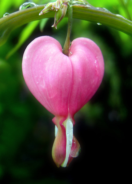 """Project 365: Day 124 """"Bleeding Heart In the Rain"""" 