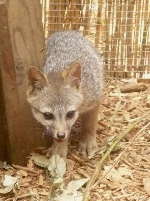 Baby gray foxes - photo#15