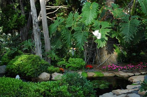 White dove in the garden with a branch above the koi pond, Self-Realization Fellowship Meditation Garden, Paramahansa Yogananda, Encinitas, California, USA by Wonderlane