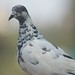 Small photo of A Pied
