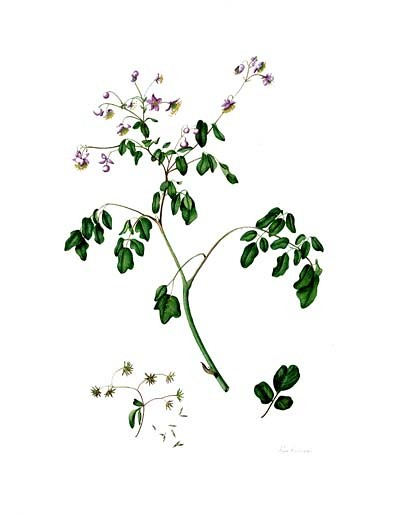 "Rose Pellicano, Thalictrum rochebrunianum, 2003. Watercolor on Lanaquarelle 140 # hotpress, 20"" × 16"". © Copyright Brooklyn Botanic Garden"