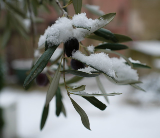 Our Olive tree with a surprising snowfall - Jan 2009