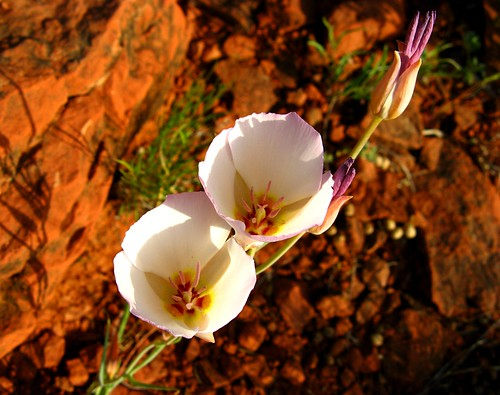 flowers light arizona southwest detail nature beauty closeup contrast outdoors interestingness spring rocks lily desert sedona explore lilies redrocks wildflowers delicate exploration discovery coconinonationalforest segolily yavapaicounty impressedbeauty canonpowershota710is zoniedude1