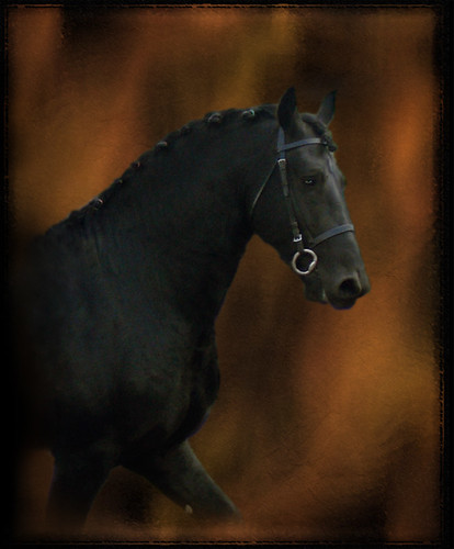 Kento Friesian Stallion