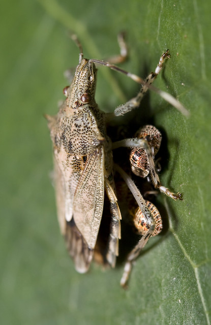 Insects R Gone Stink Bugs - Family Pe...