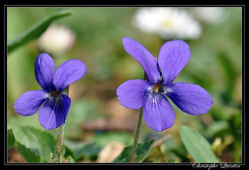 Viola hirta (Violette hérissée)