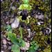 Ophrys brun ©Böltürük