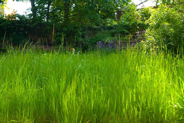 overgrown grass height