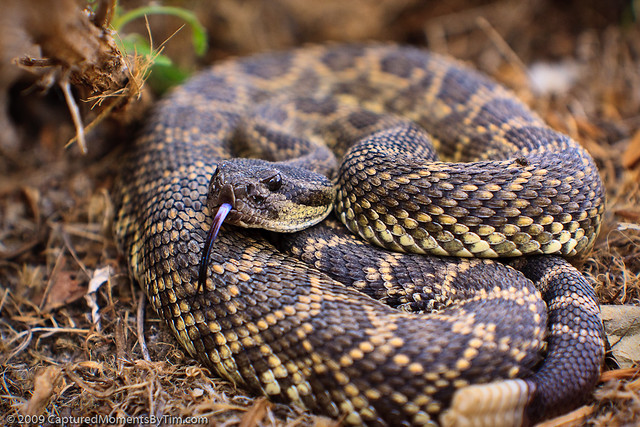 Southern Pacific Rattlesnake Stock Photo  Download Image