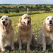 Goldens in a field of dandelions