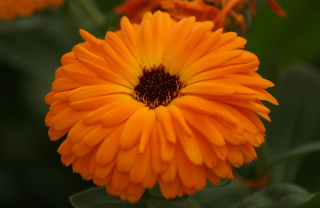 marigold calendula officinalis flickr photo sharing. Black Bedroom Furniture Sets. Home Design Ideas
