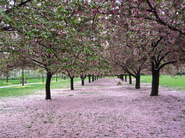 Two days of rain have created a gorgeous path of petals on Cherry Esplanade. Photo by Rebecca Bullene.