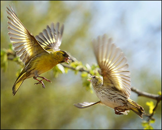 Siskin squabble
