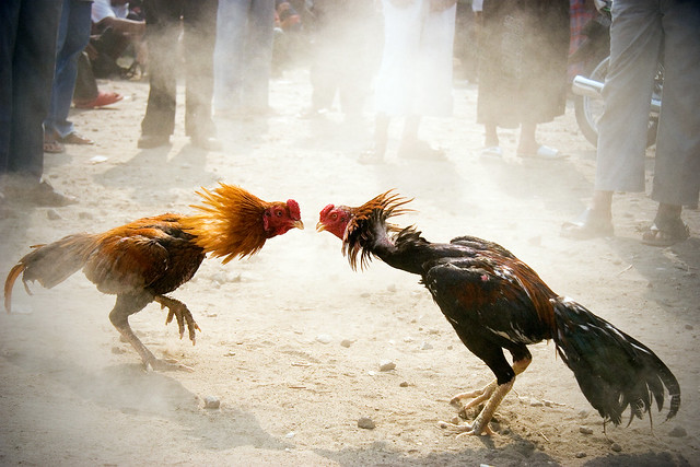 Game Cock Fights 9