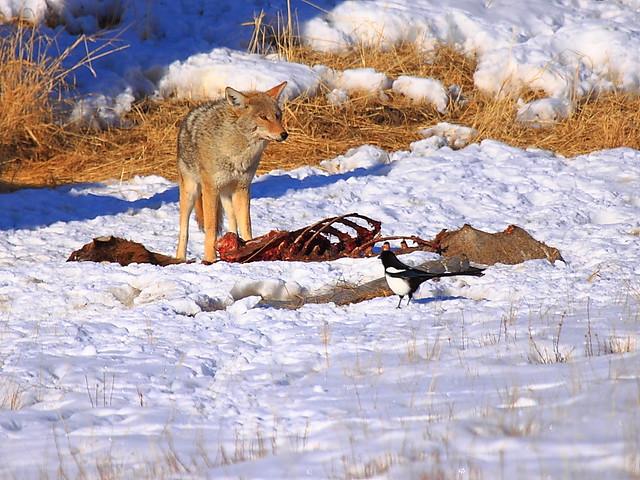 IMG_8524 Why Does Bird Suddenly Appear? National Elk Refuge