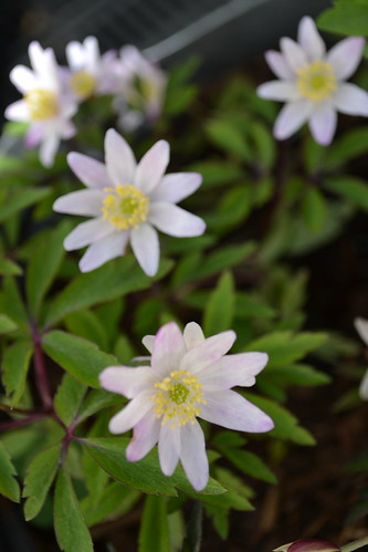 ANEMONE nemorosa 'Evelyn Meadows'