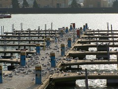 Sea Gulls occupy the pier at Spitzer's