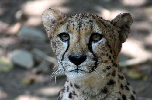 Portrait of a Cheetah....!