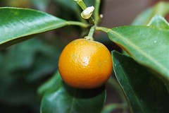 clementine, calamondin, citrus, orange, leaf, yellow, kumquat, macro photography, yuzu, flora, fruit, bitter orange, tangerine, mandarin orange,